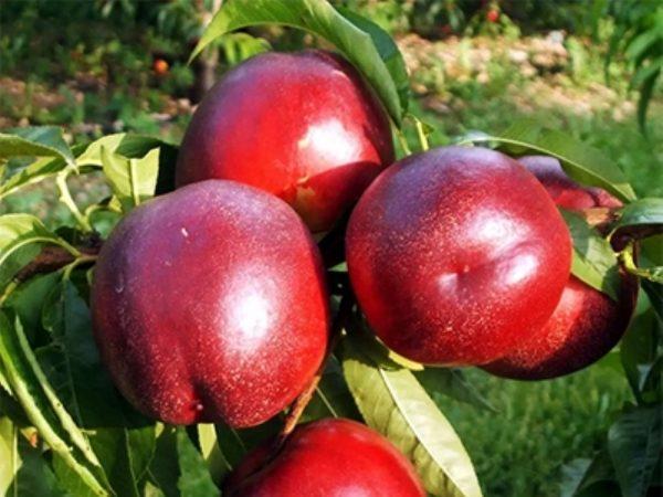 'redgold' 'nektarinai' 'vaismedziai' 'sodinukai'