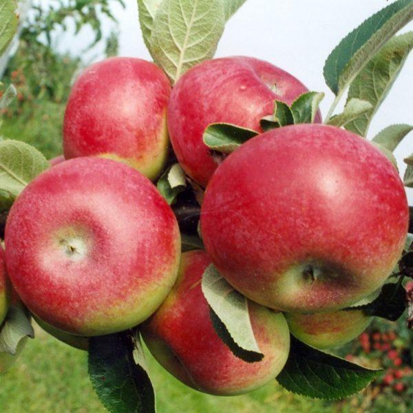 'delikates', 'rudenine', 'raudonas', 'obuolys', 'obelis', 'vaismedziai', 'sodinukai'