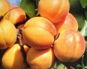 'savidulkis' 'ankstyvas' 'abrikosas' 'early orange' 'orange' 'geltonas'