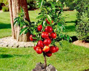 Nykštukinių nektarinų sodinukai