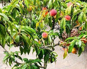 Nykštukinių persikų sodinukai