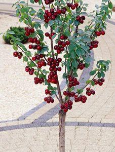 Koloninų ir nykštukinių vyšnių sodinukai