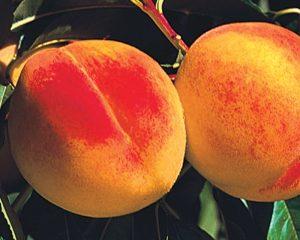 'persikas' 'persikai' 'reliance'
