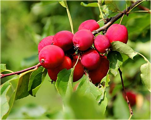 'rojaus', 'obelaite', 'sodinukai, 'raudona', 'geltona'