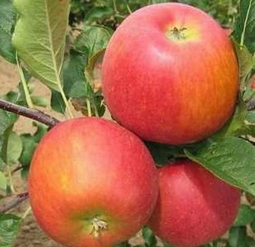 'rubin', 'saldiniai', 'skanus', 'saldus', 'obuoliai', 'sodinukai'