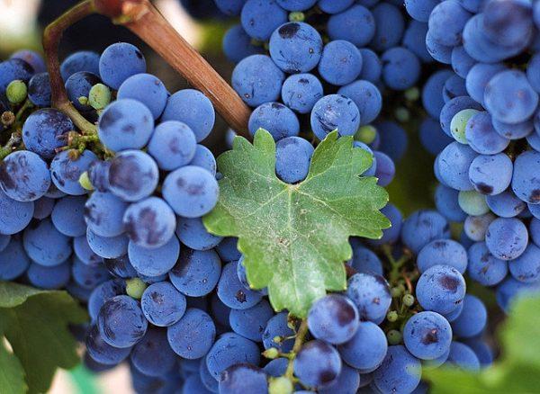 'vynuoges', 'zilga', 'melynos', 'melynosios'