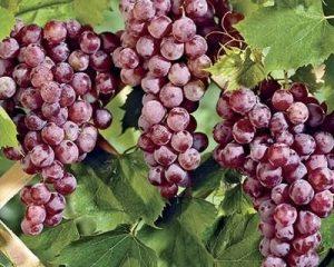 'vynuoge', 'reliance', 'besekle', 'vidutinio', 'ankstyvumo'