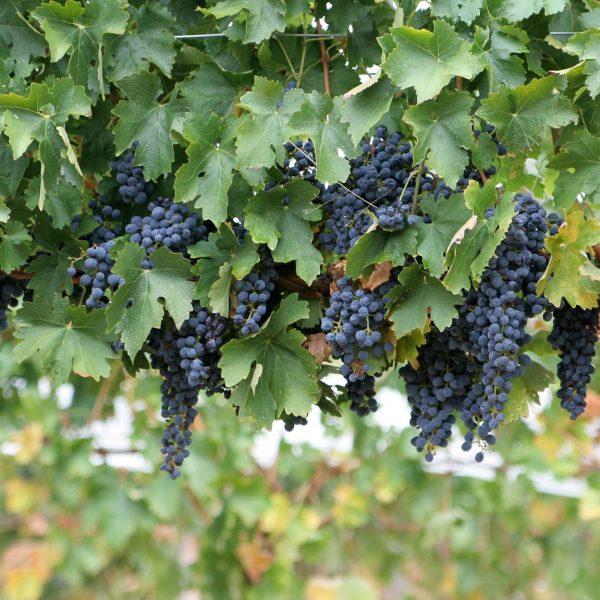 'vynuoge', 'fredonia'