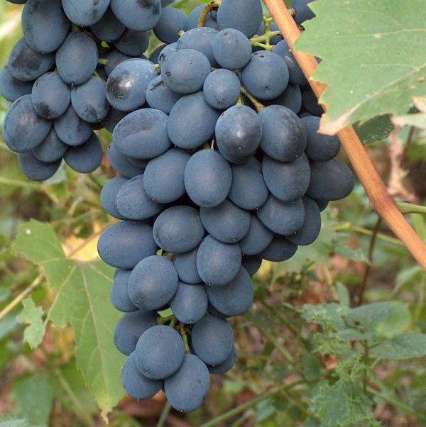 'vynuoge', 'alden'
