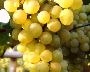 'vynuoges', 'iza', 'zaliwska', 'geltonos'