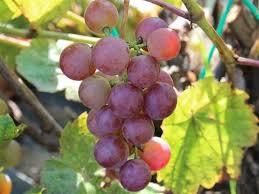 'vynuoge', 'swenson', 'raudona'